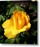 The Yellow Rose Of Garden Metal Print