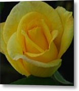 The Yellow Rose Of Texas Metal Print