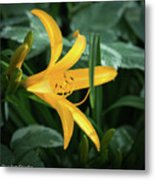 The Yelloy Lily Metal Print
