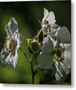 Thimbleberry Blossoms Metal Print