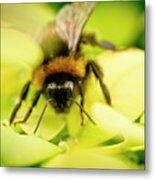 Thirsty Bumble Bee. Metal Print