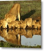 Thirsty Lions Metal Print