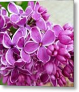 This Lilac Has Flowers With A White Edging. 4  Metal Print