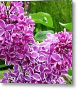 This Lilac Has Flowers With A White Edging.1 Metal Print