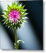 Thistle Bloom Metal Print