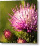 Thistle Flowers Metal Print