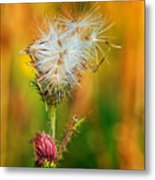 Thistle Seeds Metal Print