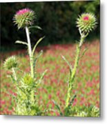 Thistles In A Field Of Clover Metal Print
