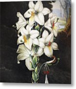 Thornton: White Lily Metal Print