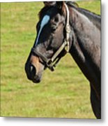 Thoroughbred Portrait Three Metal Print