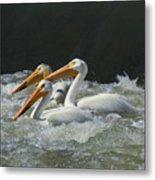 Three American Pelicans Metal Print