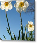 Three Backlit Jonquils From Below Metal Print