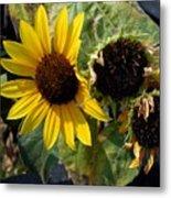 Three Beautiful Sunflower Metal Print