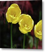 Three Blooming Yellow Tulips Of Different Heights Metal Print