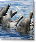 Three Bottlenose Dolphins Metal Print