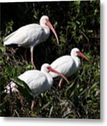 Three Buddies - White Ibis Metal Print