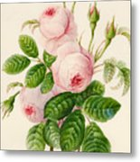 Three Centifolia Roses With Buds Metal Print