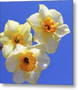 Three Daffodils Metal Print