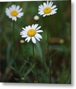 Three Daisy's Metal Print