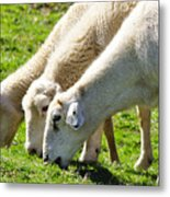 Three Ewes Metal Print