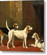 Three Fox Hounds In A Paved Kennel Yard Metal Print