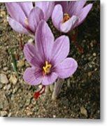 Three Lovely Saffron Crocus Blossoms Metal Print