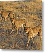 Three Cheetahs Metal Print