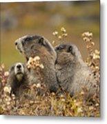 Three Marmots 2 Metal Print