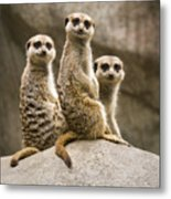 Three Meerkats Metal Print