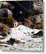 Three Mourning Doves Metal Print