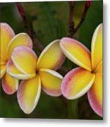Three Pink And Yellow Plumeria Flowers - Hawaii Metal Print