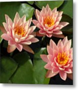 Three Pink Water Lilies Metal Print