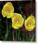 Three Pretty Blooming Yellow Tulips In A Garden Metal Print