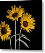 Three Sunflowers Light Painted On Black Metal Print