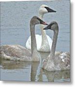 Three Swans Swimming Metal Print