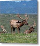 Three Tule Elk Bulls In Meadow Metal Print