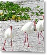 Three White Ibis Walking On The Beach Metal Print