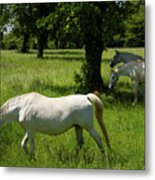 Three White Lipizzan Horses Grazing In A Field At The Lipica Stu Metal Print