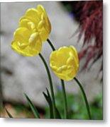 Three Yellow Garden Tulips Flowering In Spring Metal Print