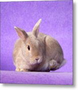Thump Gorgeous Dwarf Rabbit Stamps His Foot  Metal Print