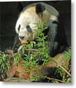 Tian Tian Hanging Out In Panda Man Cave Metal Print