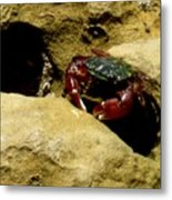 Tide Pool Crab 1 Metal Print