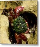 Tide Pool Crab 2 Metal Print