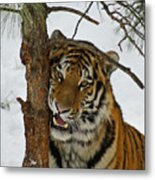 Tiger 3 Metal Print by Ernie Echols