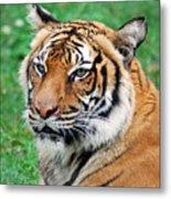Tiger Face Metal Print