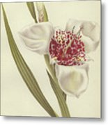 Tiger Flower   Tigridia Pavonia Alba Metal Print