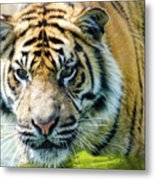 Tiger In The Water Metal Print