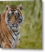 Tiger Look Metal Print