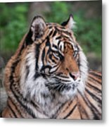 Sumatran Tigress Portrait  Metal Print