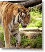 Tiger On The Hunt Metal Print